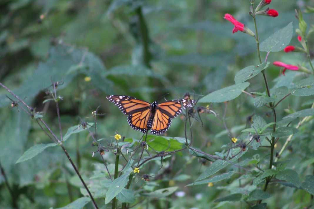 Reportan 'declive' de la población de Mariposa Monarca en Edomex y Michoacán