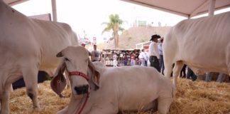 sin posibilidades de exportar ganado a EU
