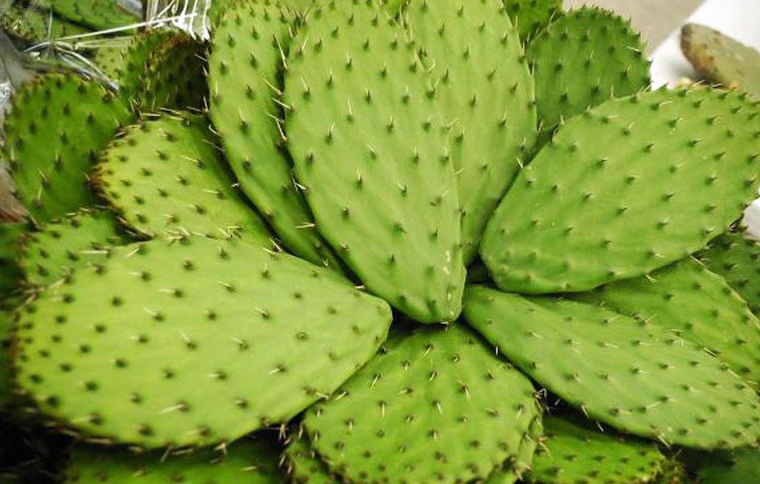 Mexicana crea plástico biodegradable a base de nopal