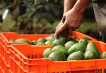 En Morelos apoyarán a productores de agucate