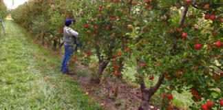 Fruticultores de Jeráhuaro denuncian abandono y falta de apoyo