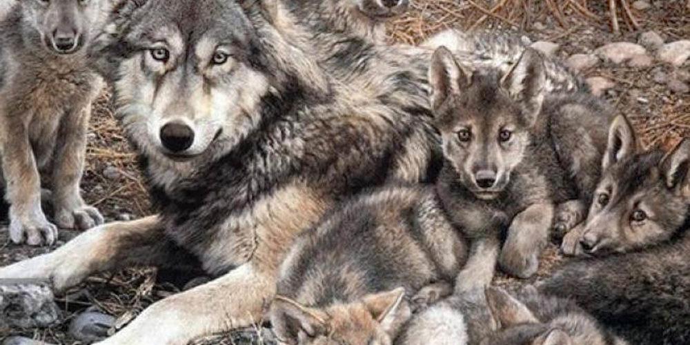 Avanza conservación del lobo gris mexicano