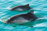 Desvío de 7.2 mdp afecta protección de vaquita marina