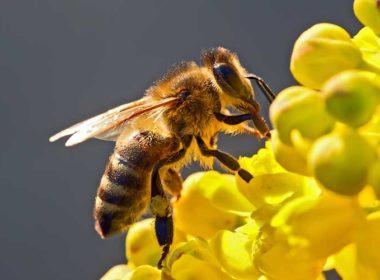 Las abejas, declaradas el ser más importante del planeta