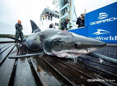 Encuentran enorme depredador marino con mordidas en la cabeza