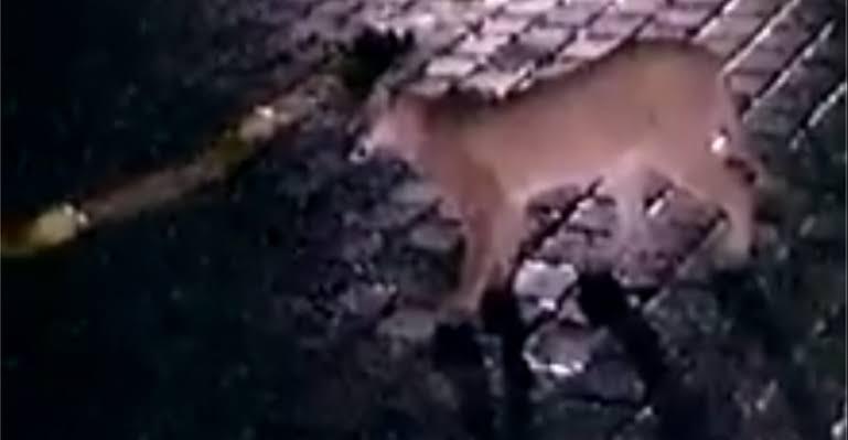 Video del puma en Santa María, podría ser falso: PC municipal