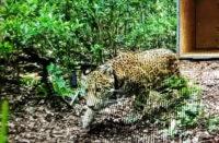 Jaguar rescatado es liberado en reserva natural