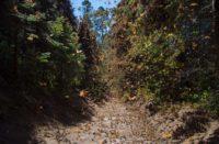 Próximo el arribo de la Mariposa Monarca a Michoacán