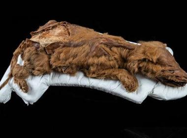 Descubren momia de lobo de hace 57 mil años