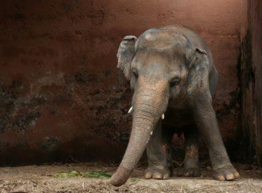 Liberan al elefante más triste del mundo