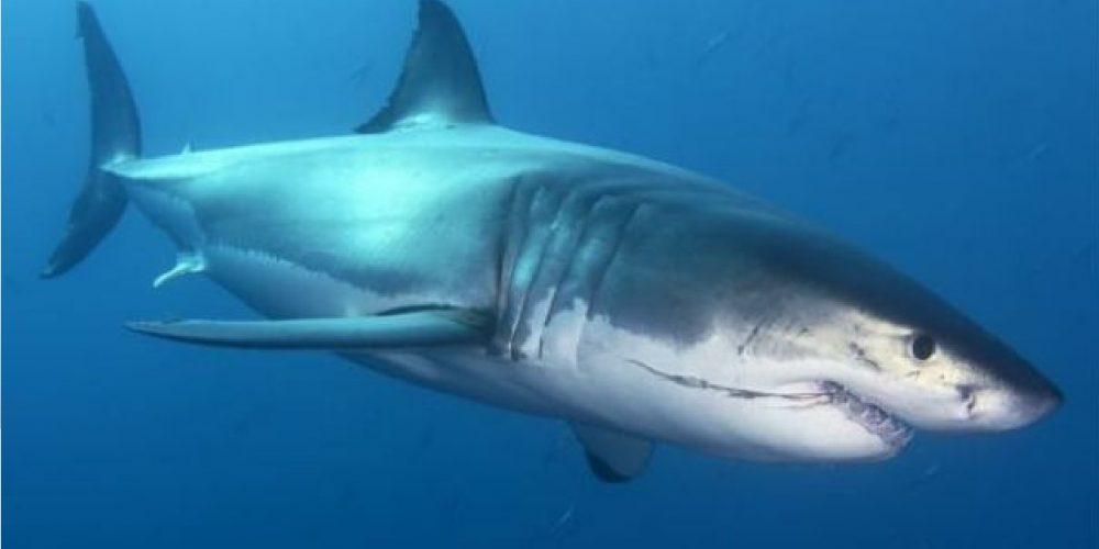 Descubren en México extraño tiburón
